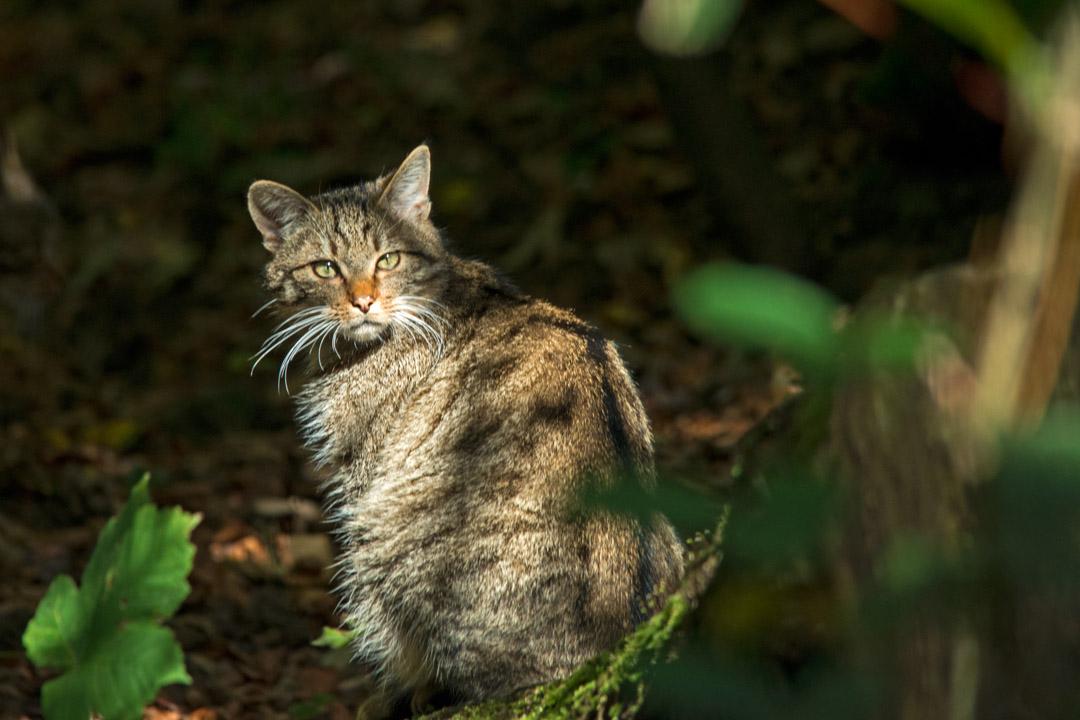 Wildkatze im Tierpark Langenberg