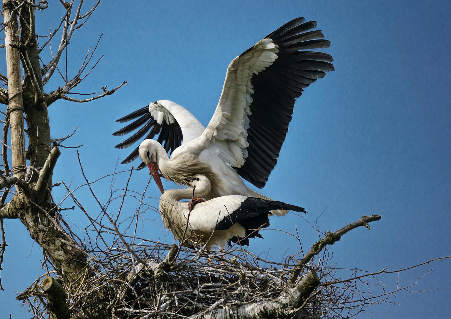 Schützender Storch