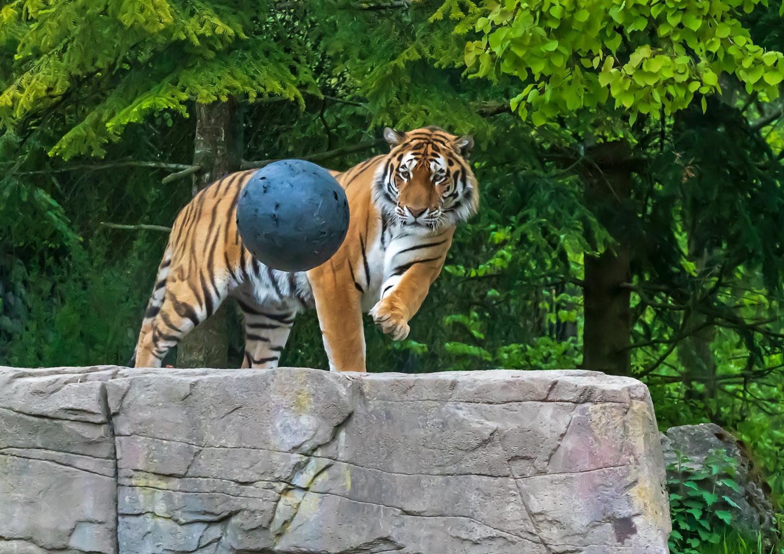 Tiger am Spielen