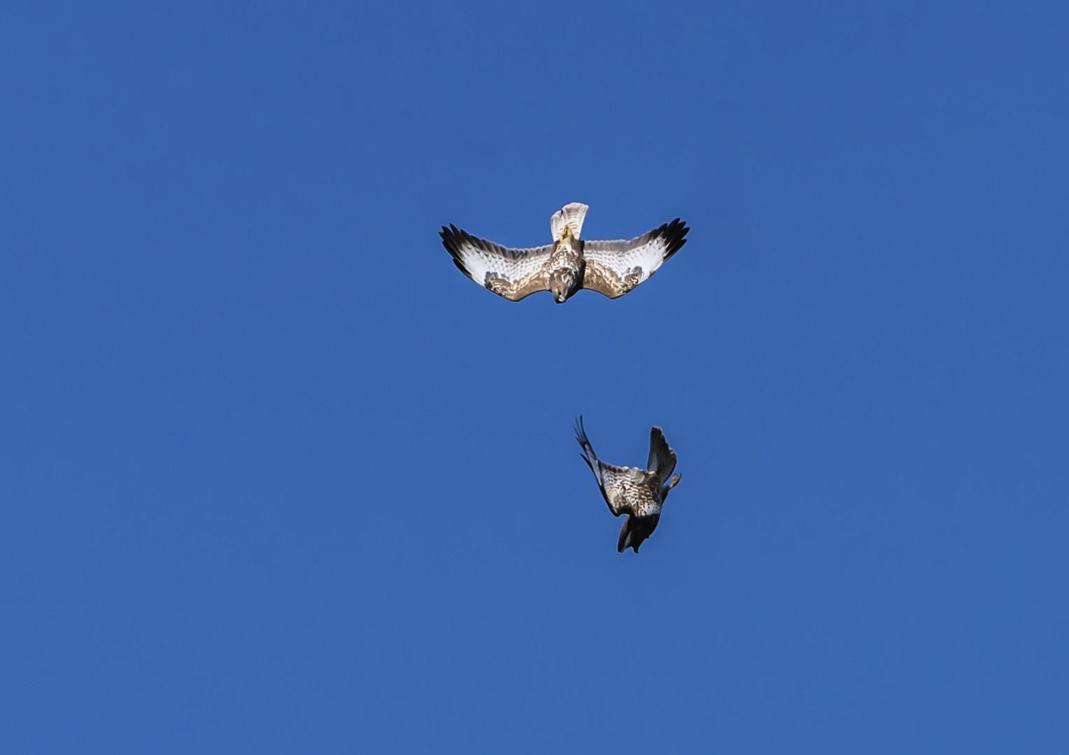 Greifvogel im Angriff 1