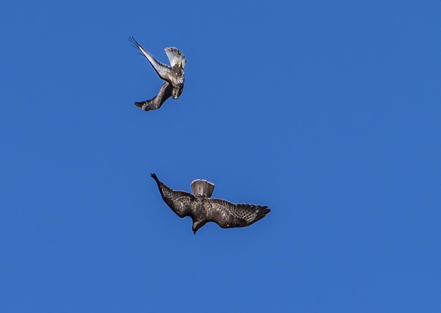 Greifvogel im Angriff 2