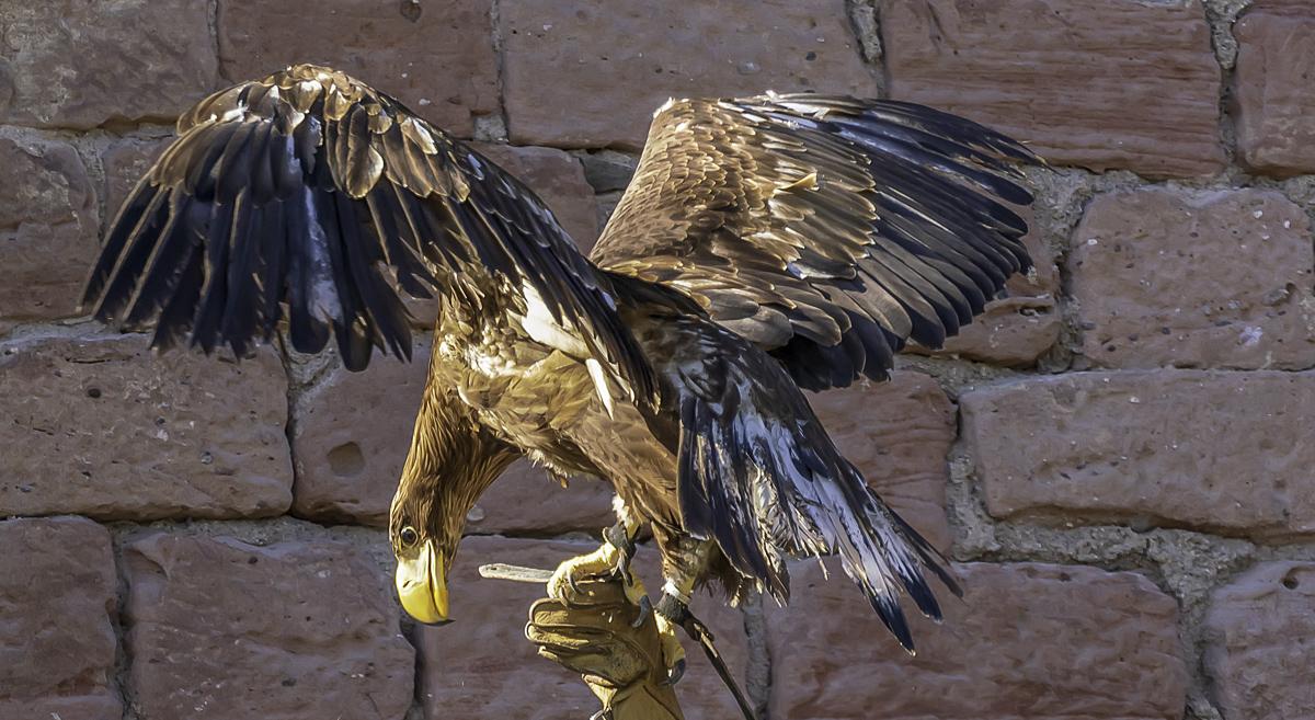Greifvogel bei Landung
