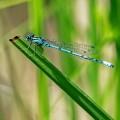 Libelle kurz vor Landung