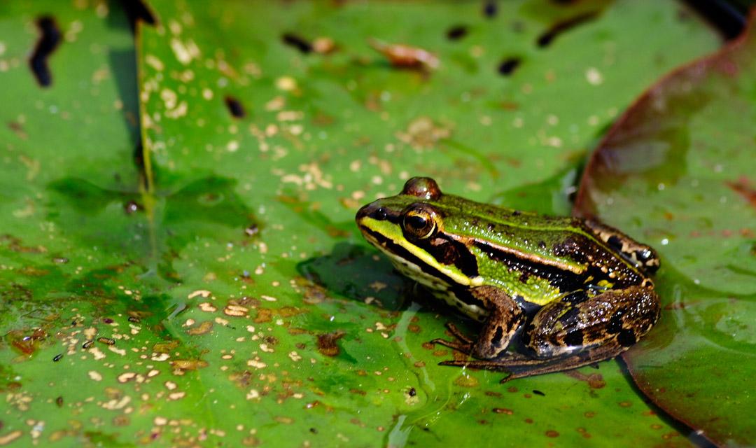 Frosch auf der Lauer