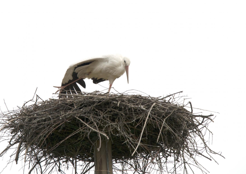 Der Storch beginnt sich zu kühlen