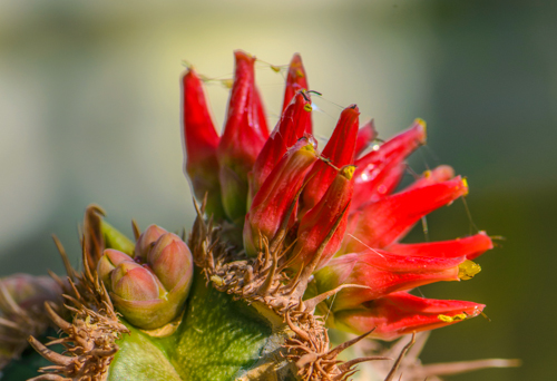 Blüte eines Kaktus