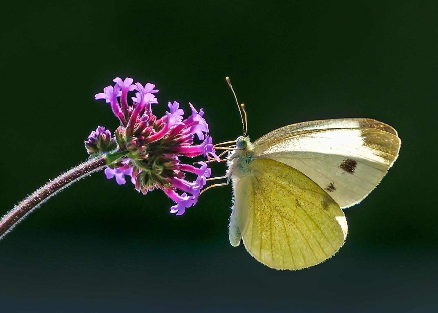 Schmetterling am Beschnuppern