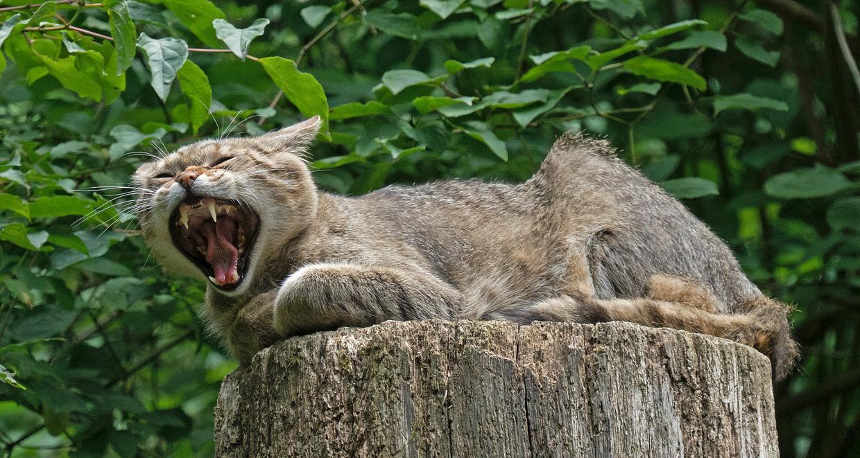 Wildkatze Tierpark Langenberg