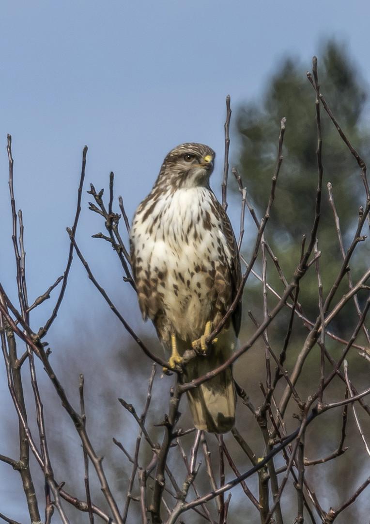 Falke auf dem Baum