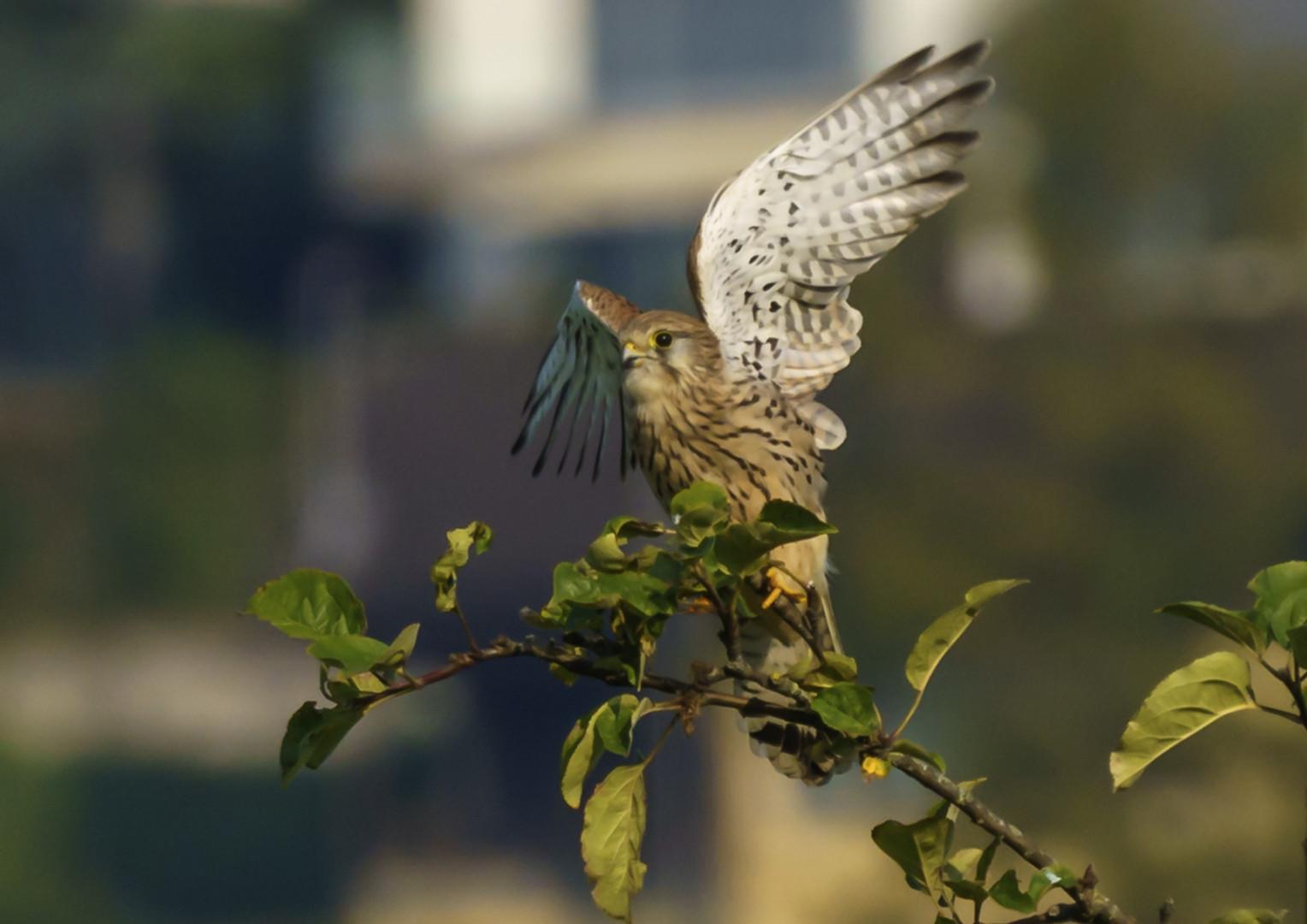 Greifvogel beim Abflug