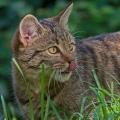 Was sieht diese Wildkatze im Tierpark Langenberg