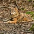 Wolf beim Ausruhen