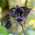 Fledermausblume