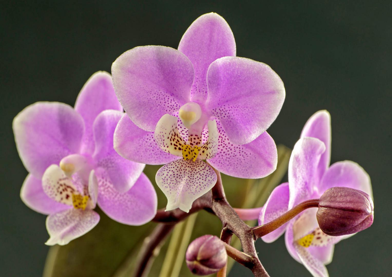Makro einer Orchidee